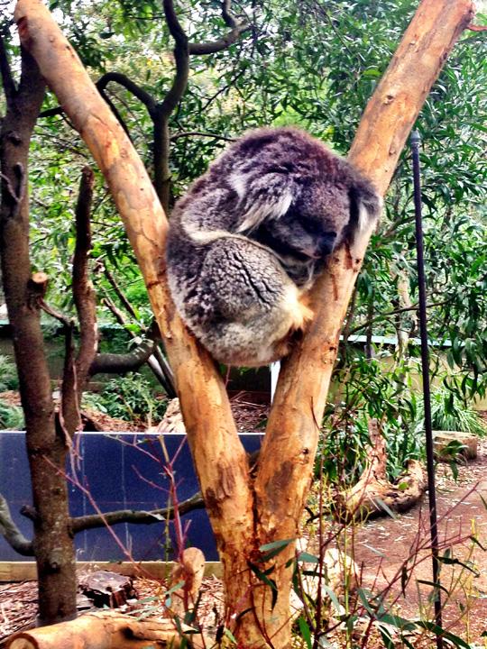 Healesville Sanctuary zoo Melbourne Australia kuala
