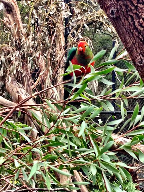 Healesville Sanctuary zoo Melbourne Australia parrot