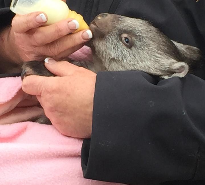 Tasmania Australia animals
