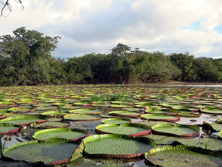 Flickr David Stanley giant lily water Guyana