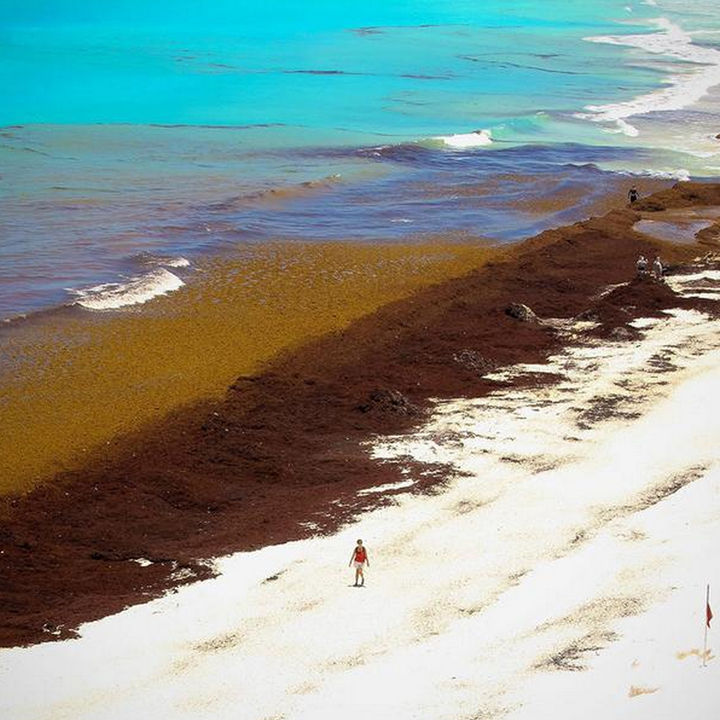 Cancun Beach Seaweed Jetset Times Catalog Of Cool Places
