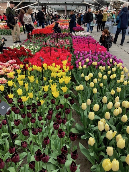 Tulips From Greenhouses