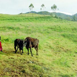 Early morning cow milking in Kinti Wasi, Ecuador.