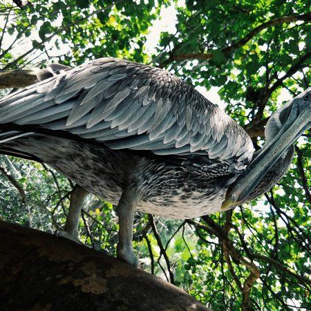 Pelican at Flamingo Gardens Aviary.