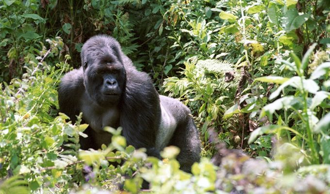 gorillas rwanda trekking