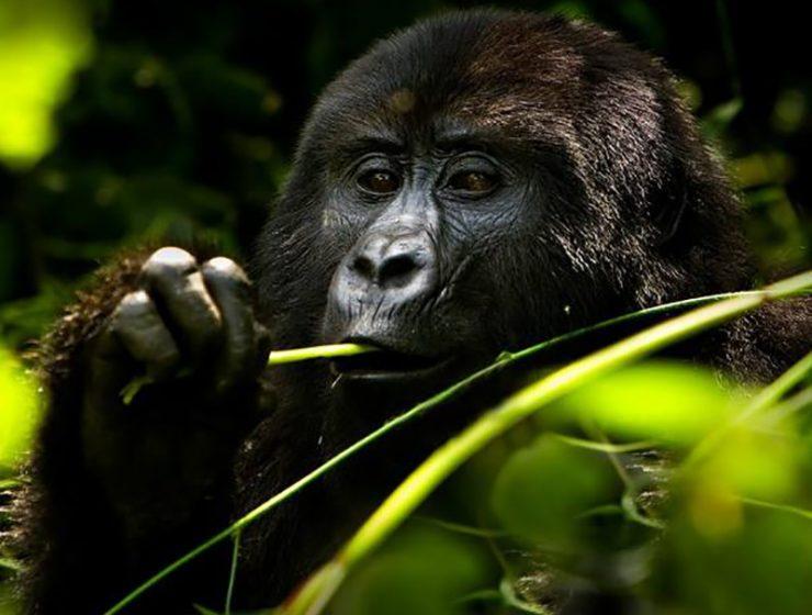 Primate Safaris Rwanda