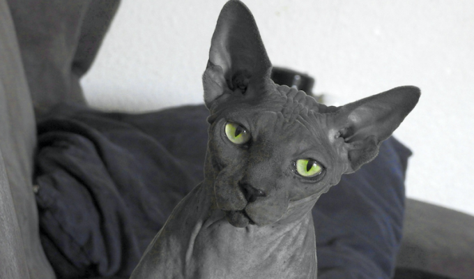 breed of cat
