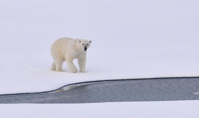 pexels-pixabay polar bear
