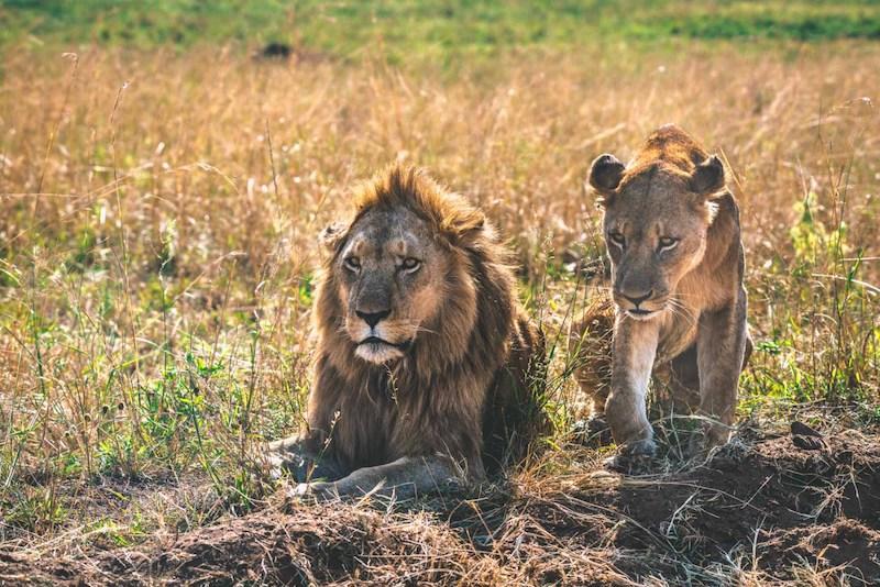 Kidepo lions