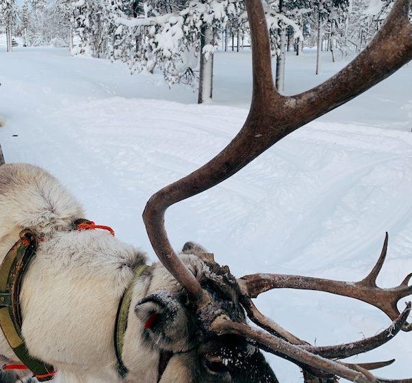 Reindeer in Lapland.
